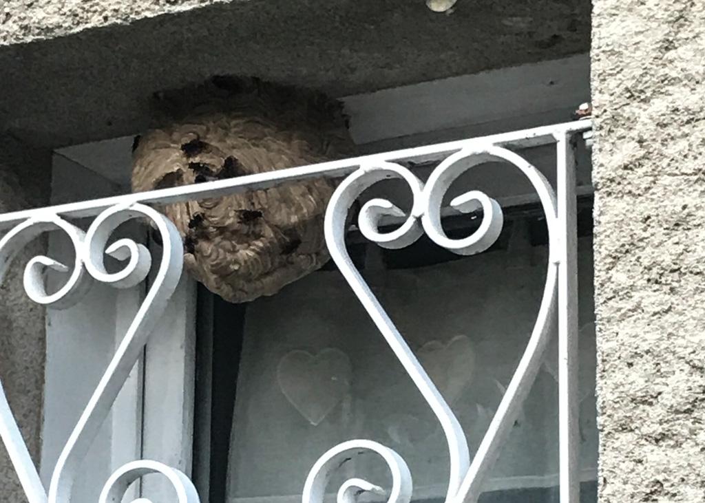 Frelons Asiatiques sur nid primaire dans un encadrement de fenetre